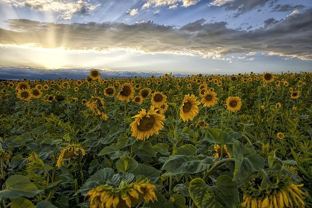 Sunflower, Sunset, Sky, Clouds, Landscape, Evening