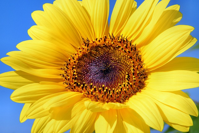 Sunflower, Flowers, Summer, Yellow, Helianthus, Sun