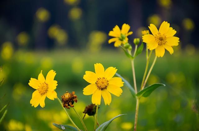 Flower, Yellow, Sunflower