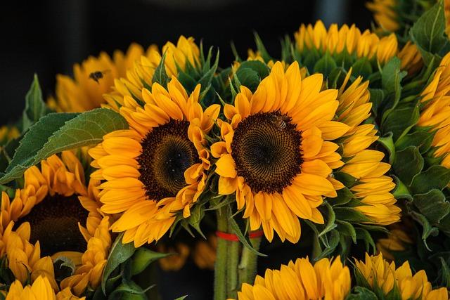 Sunflowers, Yellow, Nature, Field, Summer, Blooming