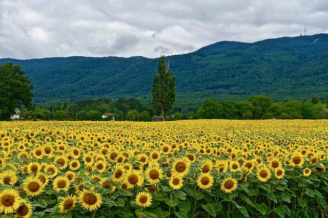 Sunflowers, Nature, Field, Agriculture, Summer, Rural