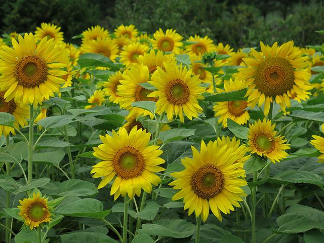 Sunflowers, Flowers, Yellow, Field