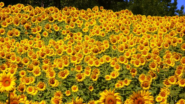 Sunflowers, Abruzzo, Flowers, Summer, Sunflower, Yellow