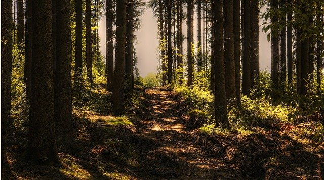 Trees, Forest, Forest Path, Sunlight, Conifers