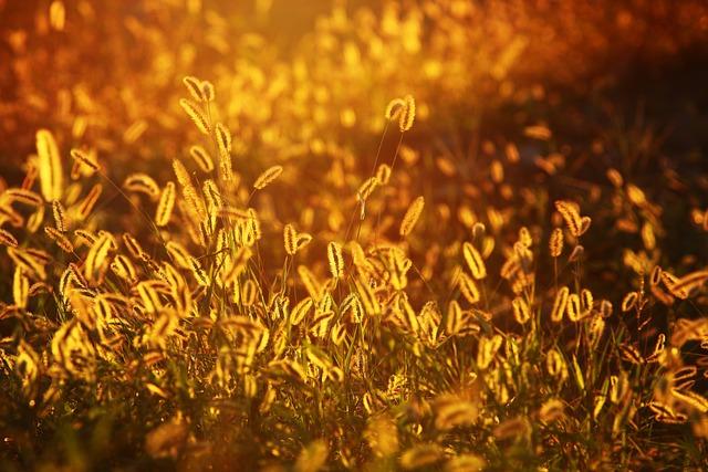Foxtail, Grasses, Sunset, Glow, Nature, Sunlight