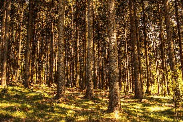 Trees, Fir Forest, Nature, Conifers, Sunlight