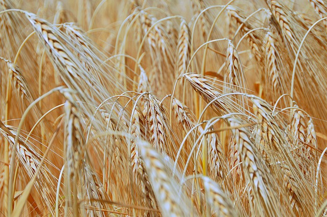 Wheat, Summer, Harvest, Sunlight, Plants, Nature
