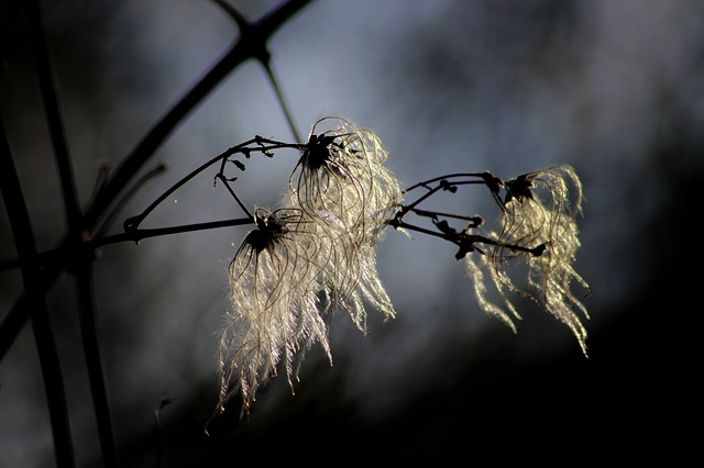 Nature, Close, Sunlight, Clematis, Macro, Plant, Seeds
