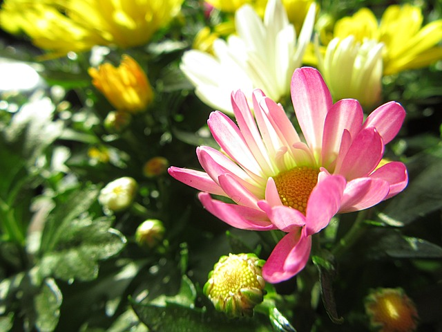 Flower, Autumn Flower, Chrysanthemum, Sun, Sunlight