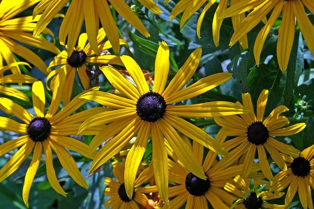 Coneflower, Shrub, Yellow Coneflower, Sunny, Yellow