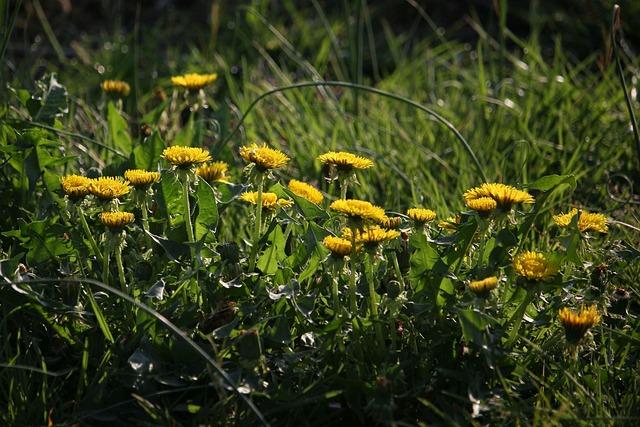 Dandelion, Flowers, Flower, Plant, Grass, Nature, Sunny
