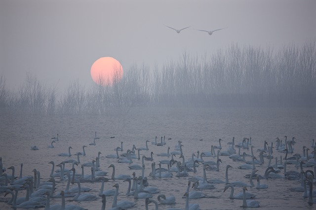 Swan, Sunrise, Riverside, Birds, Foggy Road, Beauty