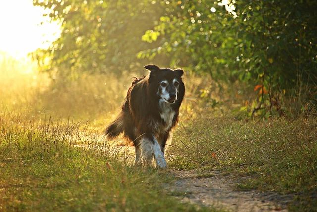 Dog, Border Collie, Light, Sun, Fog, Sunrise