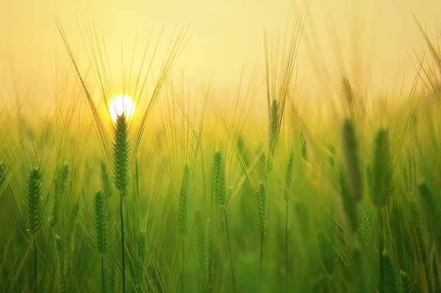 Barley Field, Wheat, Harvest, Sunrise, Morning