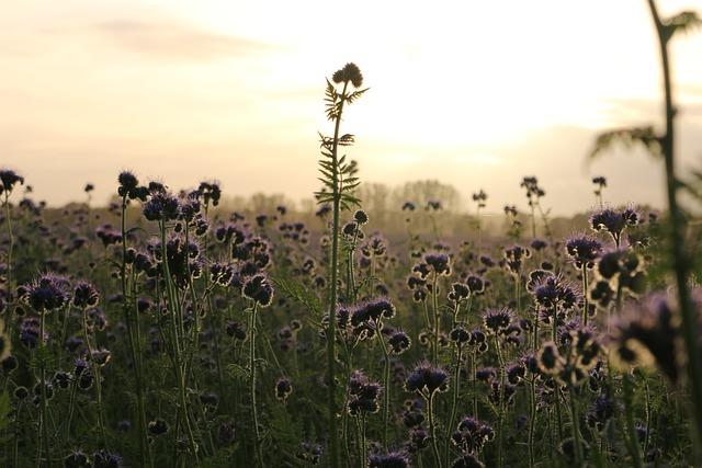 Phacelia, Bees, Field, Abendstimmung, Sunset
