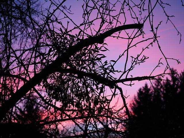 Afterglow, Mistletoe, Evening, Abendstimmung, Sunset