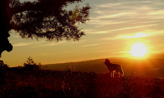 Husky, Wolf, Dog, Sunset