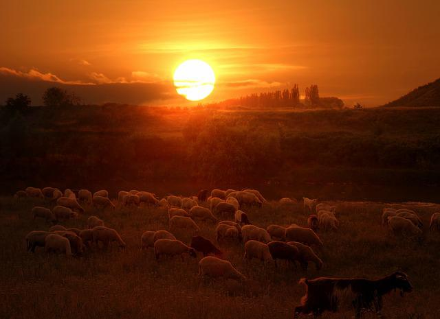 The Flock, Sheep, Sunset, Red