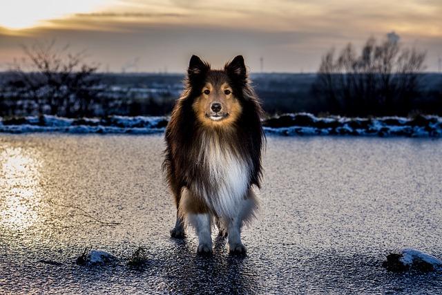 Sheltie, Ice, Sunset, Winter, Standing Dog