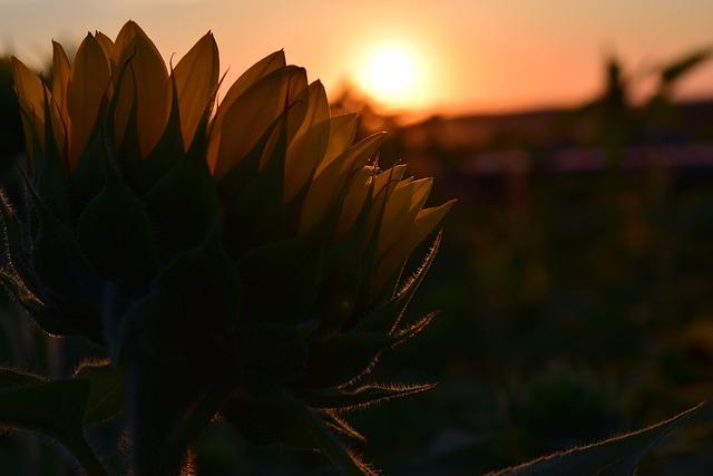 Sunset, Sun Flower, Back Light, Sky, Red, Light, Rays