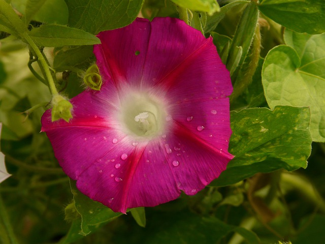 Morning Glory, Ipomoea, Superb Thread, Winds