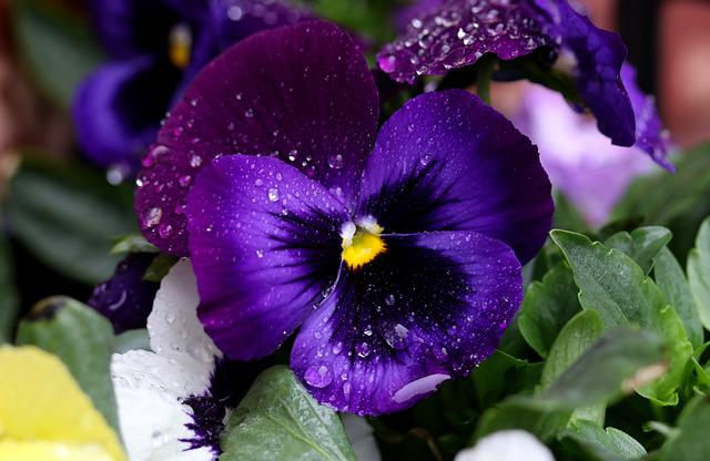 Pansy, Blue, Flower, Rain, Wet, Supplies, Drops