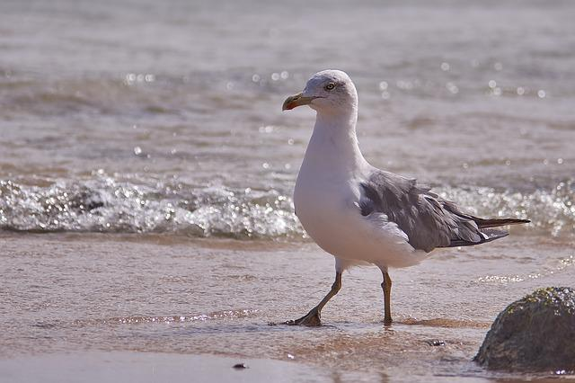 Seagull, Bird, Sea, Sand, Surf, Wave, Waters