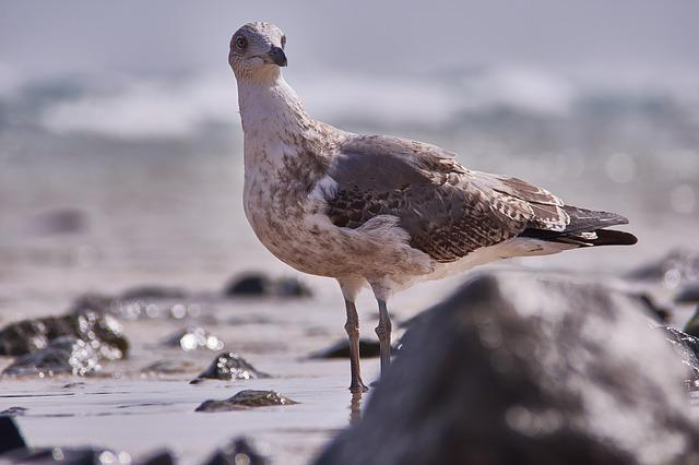 Seagull, Bird, Sea, Sand, Hunt, Surf, Wave, Waters