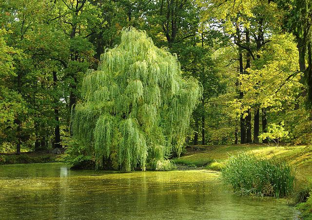 Tree, Pond, Willow, Nature, Forest, Surface