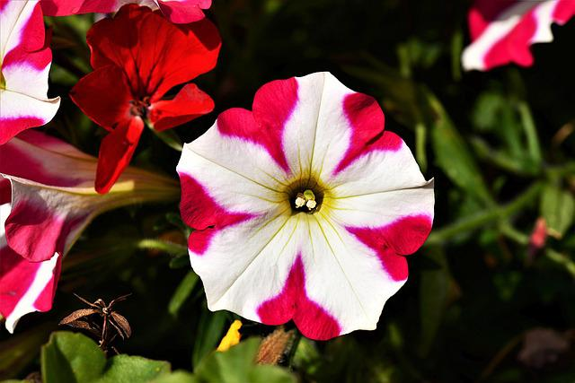 Blossom, Bloom, Surfinien, Close, Petunia, Flowers