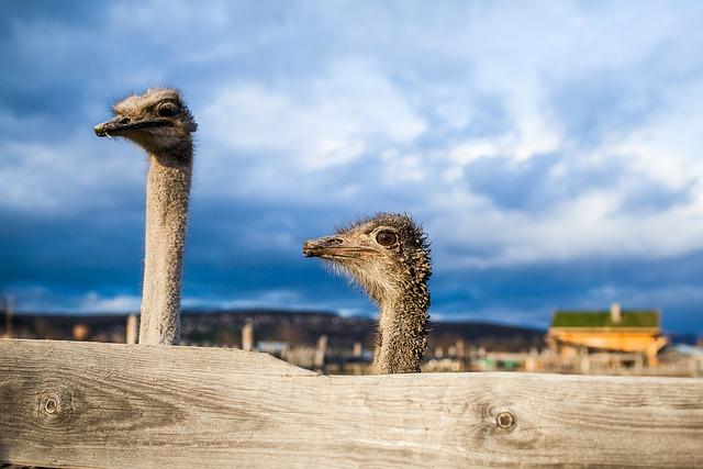 Ostrich, Surprise, Sorrow