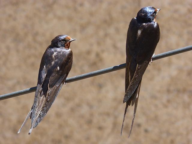 Cable, Swallow, Couple, Oreneta, Hirundo Rustica