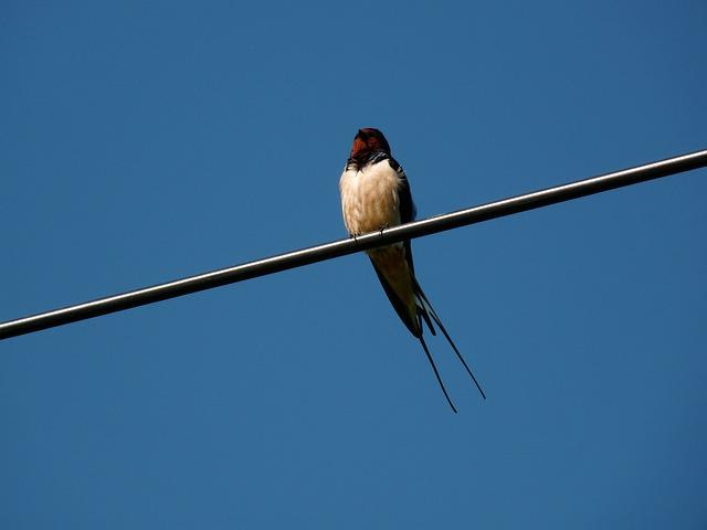 Swallow, Blue, Bird, Summer, Sitting