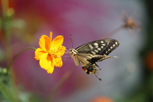 Butterfly, Swallowtail Butterfly, Flowers And Butterfly
