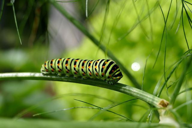 Caterpillar, Swallowtail Caterpillar