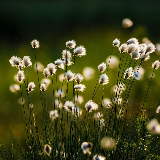 Swamp, Cotton Grass, Marsh, Flower, Plant, Evening