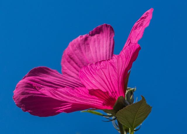 Swamp Hibiscus, Pink, Flower, Hibiscus Moscheutos