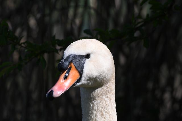 Swan, Bird, Nature, Animal World, Animal
