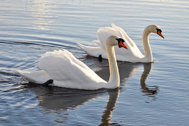 Mute Swan, Swan, Animal, Bird, Waterfowl, Cygnus Olor