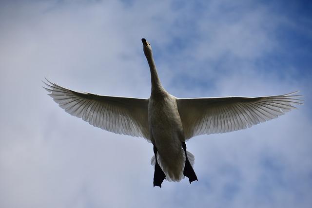 Animal, Sky, Bird, Wild Birds, Waterfowl, Fields, Swan