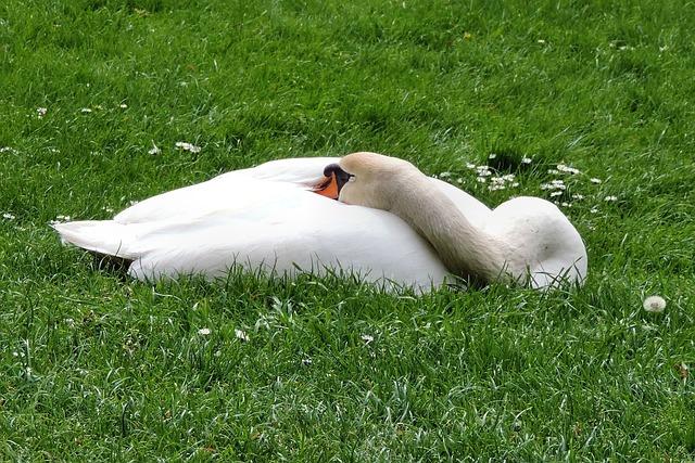 Mute Swan, Swan, Meadow, Bird, Water Bird, White