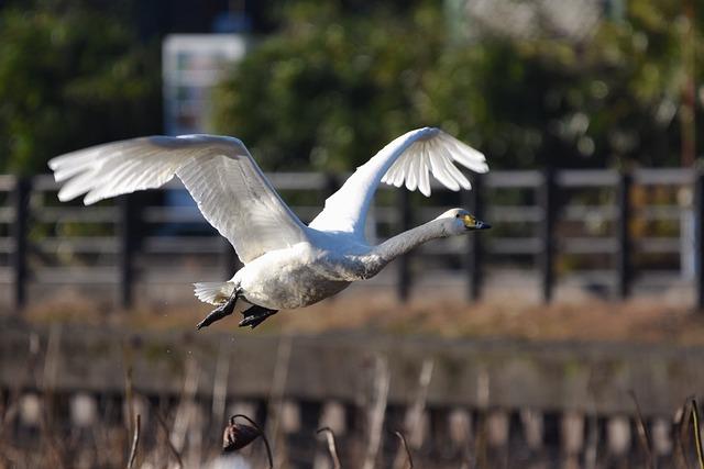 Animal, Pond, Bird, Wild Birds, Swan, Video High Chou