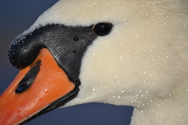 Swan, Animal, Baltic Sea, Close, Bill, Eye