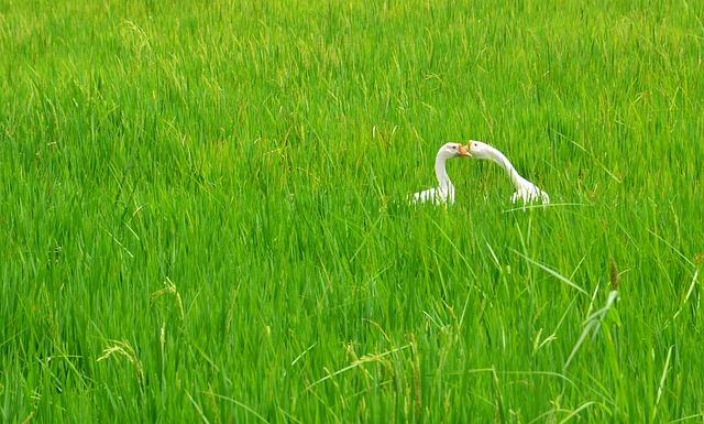 Swan, Rice Field, Couple