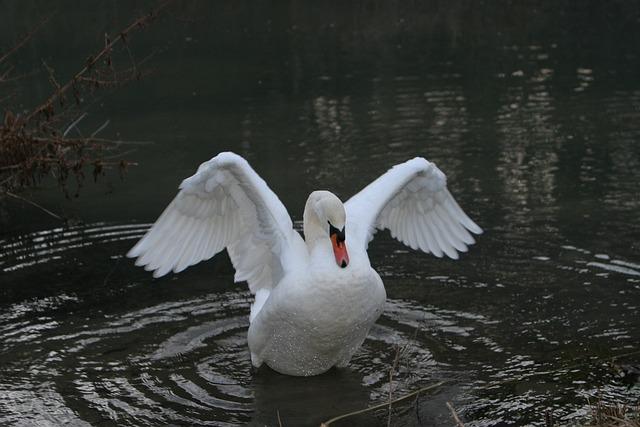 Swan, Water, Altmühl, Altmühl Valley, Essing