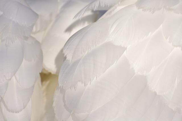 Swan, Feather, Plumage, White, Animal World, Bird
