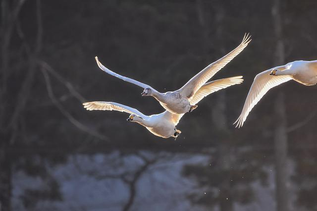 Bird, Swan, Flying