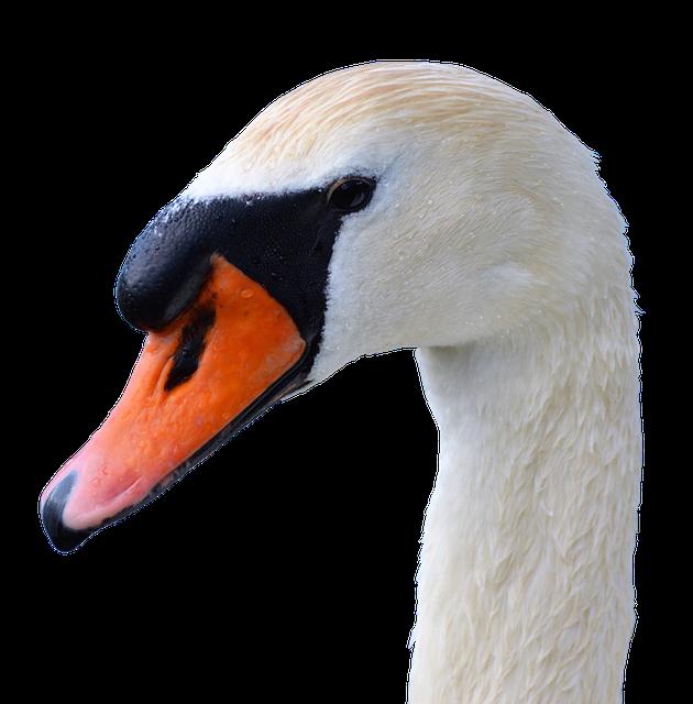 Swan, Swan Head, Water Bird, Nature, Bill, Head, White