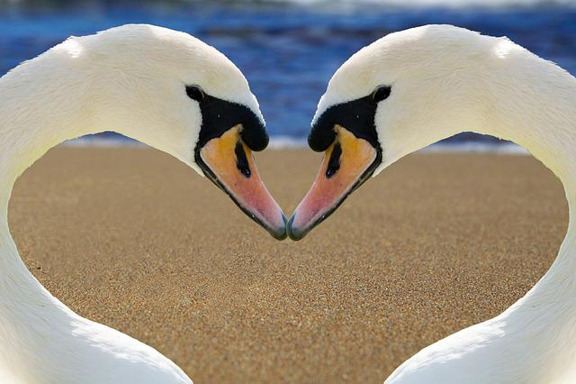 Swan, Heart, Love, Bill, Beach, Romance, Together