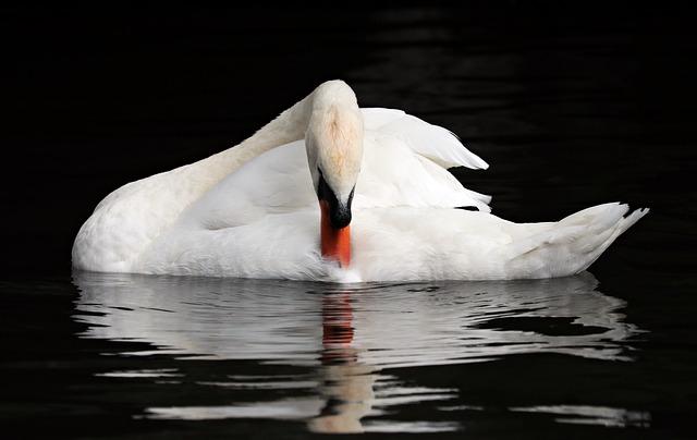 Belgium, Bruges, Swan, Romantic, Mirroring, Water